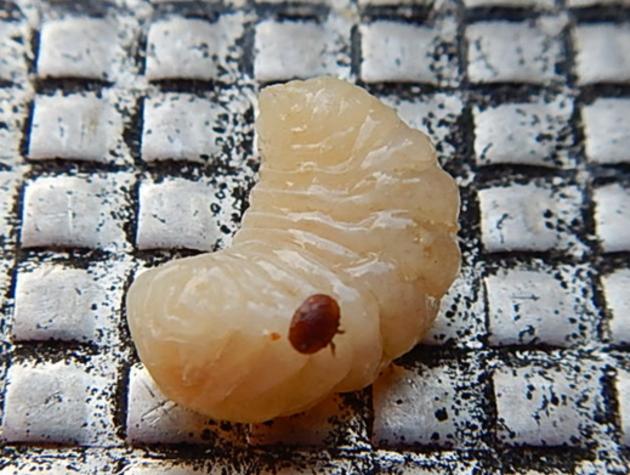 Comptage national varroa : c'est maintenant !