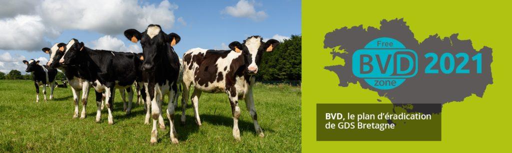 BVD, le plan d'éradication en Bretagne