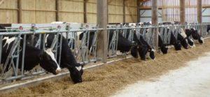 le logement des vaches laitières