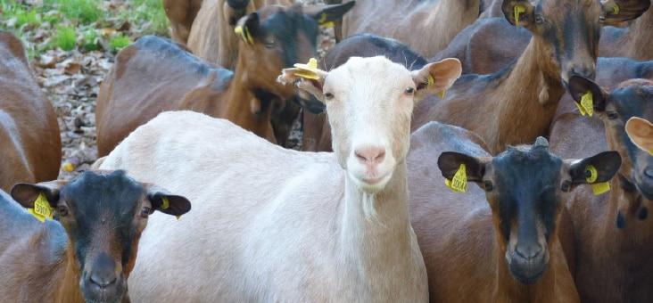 l'examen de la chèvre