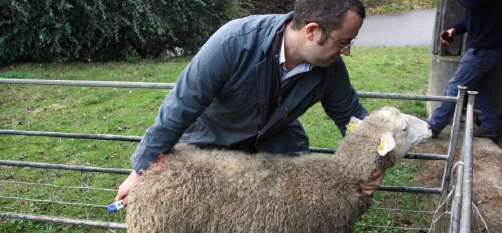 L'examen du mouton