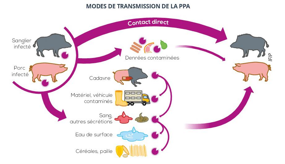 Quelles mesures de biosécurité vis-à-vis de la Peste Porcine ?