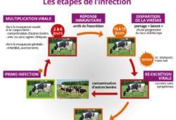maladies : rhinotracherite infectieuse bovine