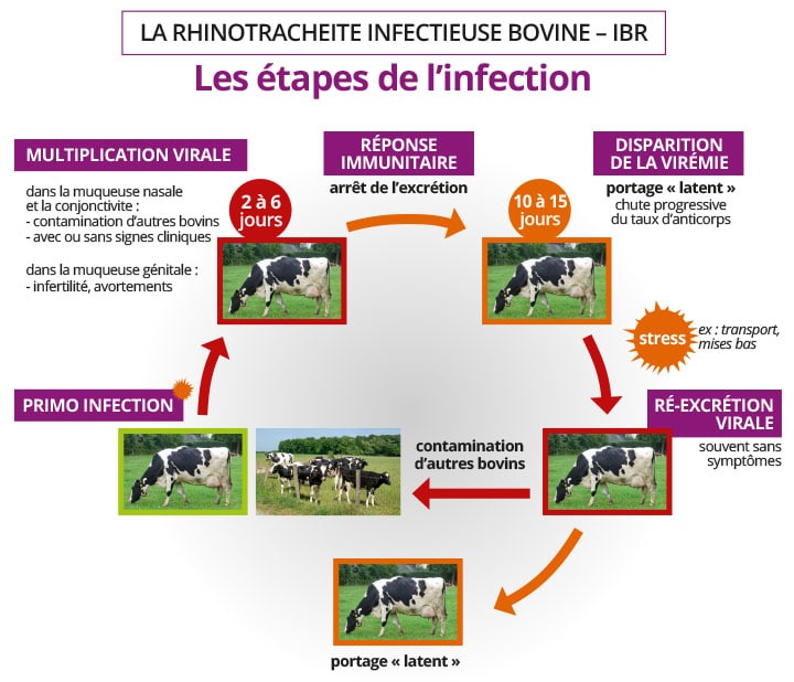 maladies : rhinotracherite infectieuse bovine