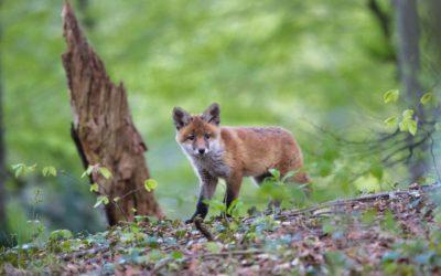 La gale du renard : Quelles conséquences pour les bovins ?