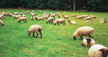 ovins : mise à l'herbe