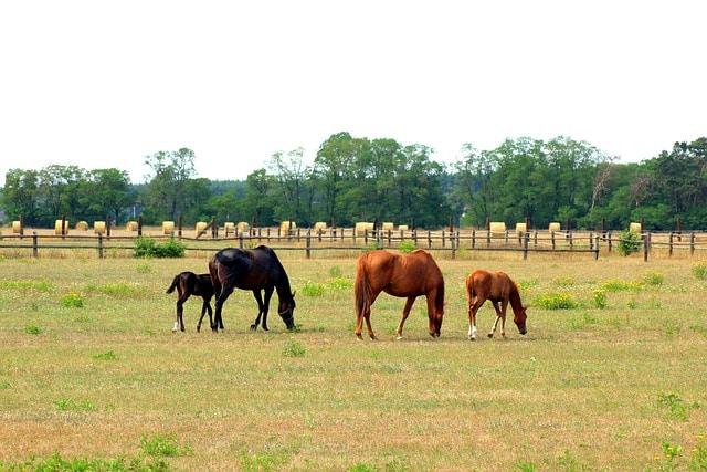 chevaux en pâture dans un pré